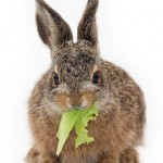 Rabbit Eating Lettuce wb 150x150 A Closer Look At What Really Is A Disheartening Pattern…Medicine Itself.…as revealed by a recent LA Times article…  Part 1 of 2